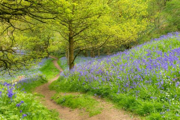 A Walk through the Bluebells