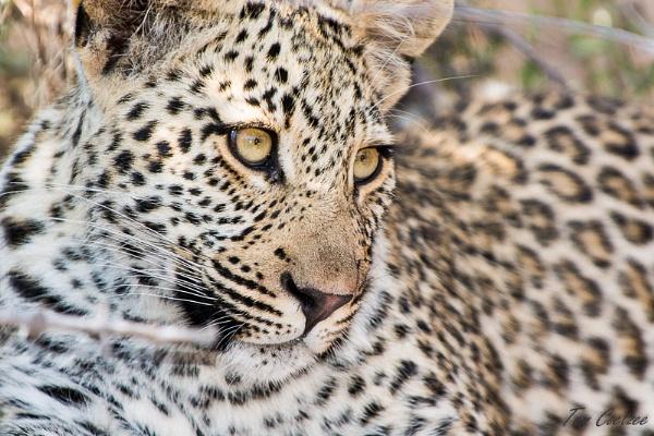 Leopard portrait by TomCoetzee