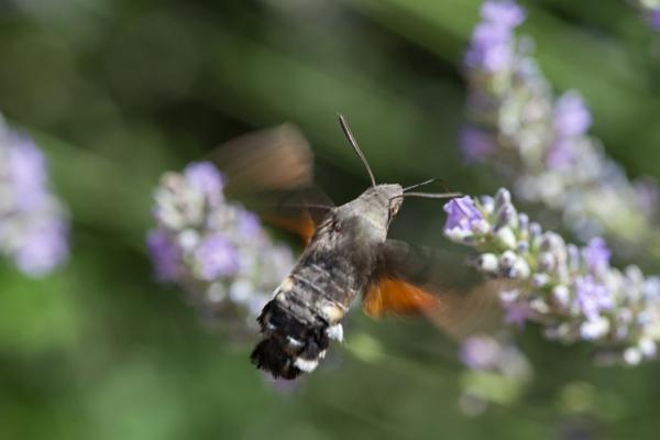 Hummingbird Hawk on Lavender by livinglevels