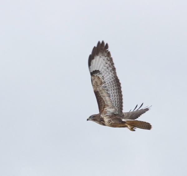 buzzard by sirhcelah100