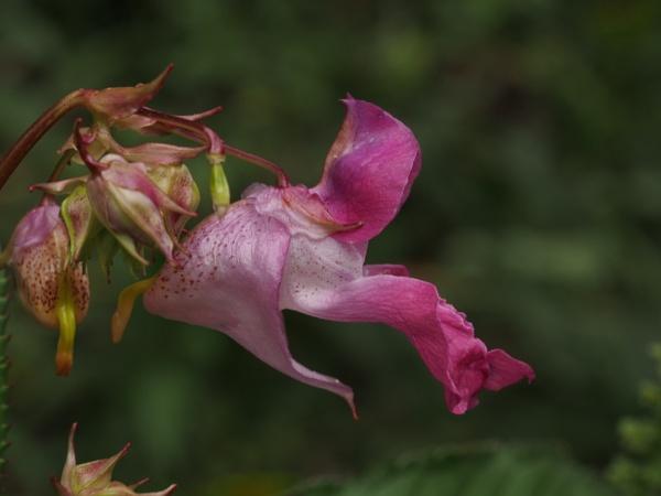 Ornamental Jewelweed (Impatiens glandulifera) by Xmplary