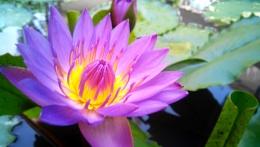 Purpel Lotus