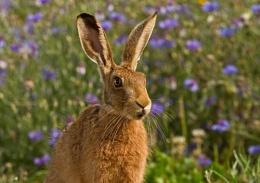 Juvenile Hare amongst Cornflowers