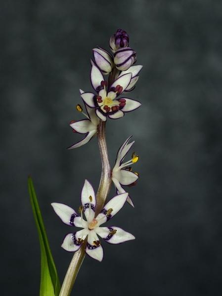 Wildflower \'Early Nancy\' by Rogerex
