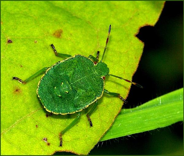 Green Shield Bug-Palomina prasina. by Badgerfred