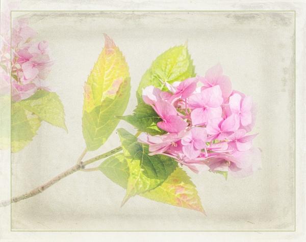 hydrangea by maywee