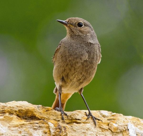 Black Redstart female by Growmore