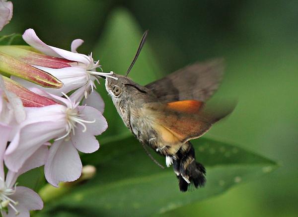Hummingbird Hawkmoth by Snapitt