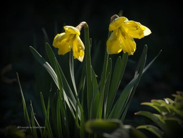 Narcisoss by izida