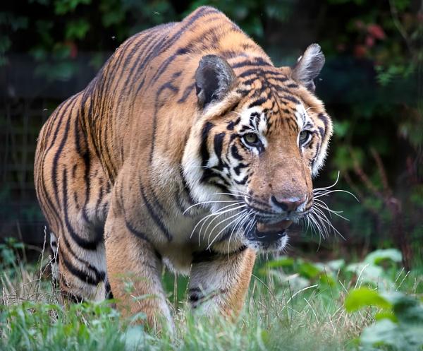 Siberian Tiger (Panthera tigris altaica) by Phil_Bird