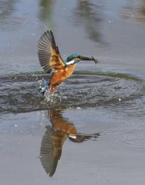 Kingfisher emerging