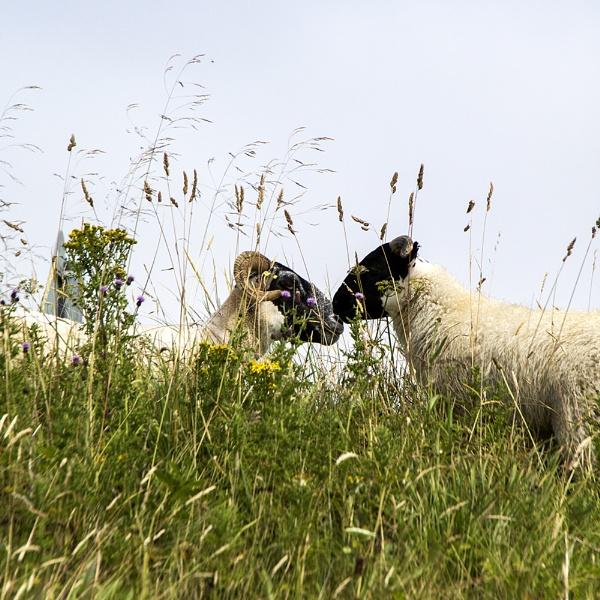 Sheepish Behaviour by Irishkate