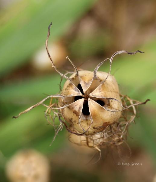 Nigella Seed Head by kaz1