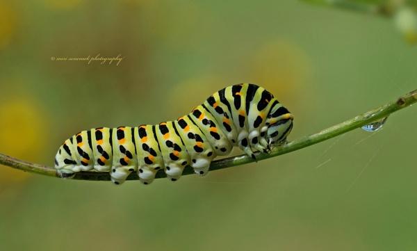 swallowtail upcoming by senn