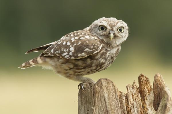 Juvenile Little Owl by pmeswani