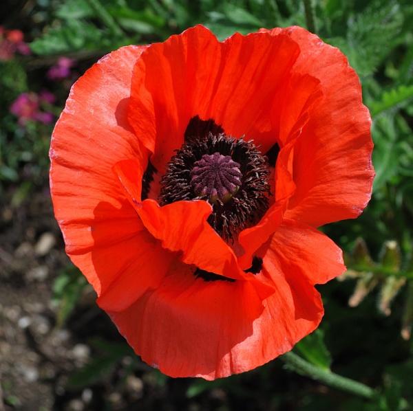 Papaver (Oriental Poppy) by janlea