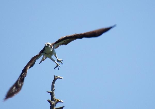 Osprey. by Houba