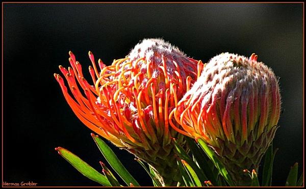 Red Pincushion by Hermanus