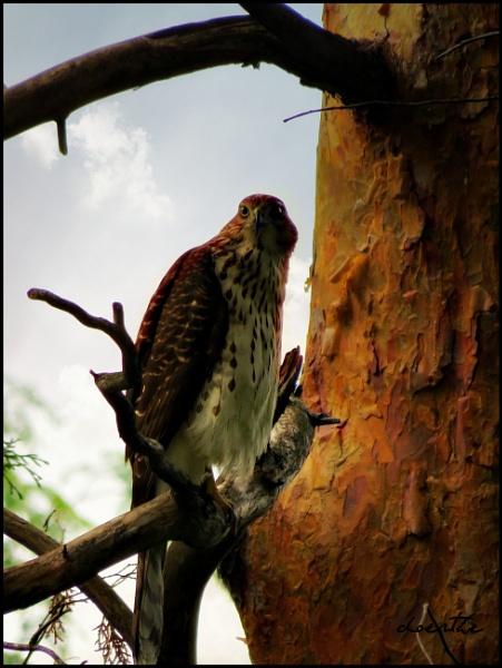 Sharp-shinned Hawk by doerthe