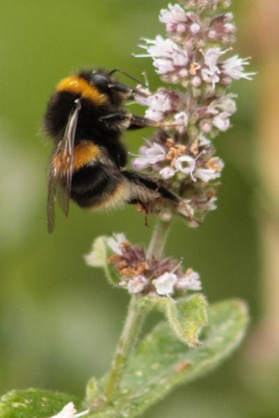 Bumblebee on Mint flowers. by Fernowl