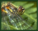 Shiny wings - Darter by CarolAnnLauderdale
