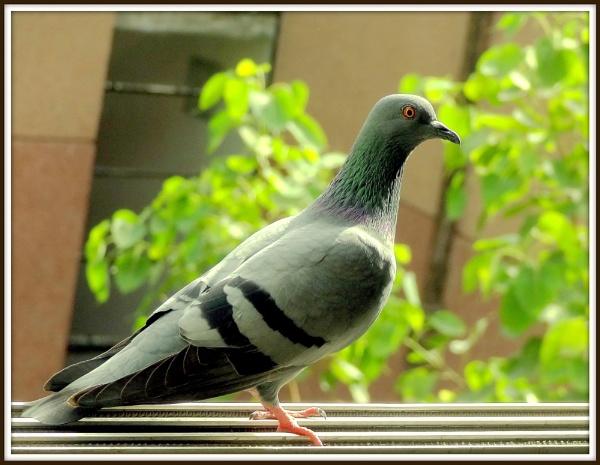 Pigeon:3 by IshanPathak