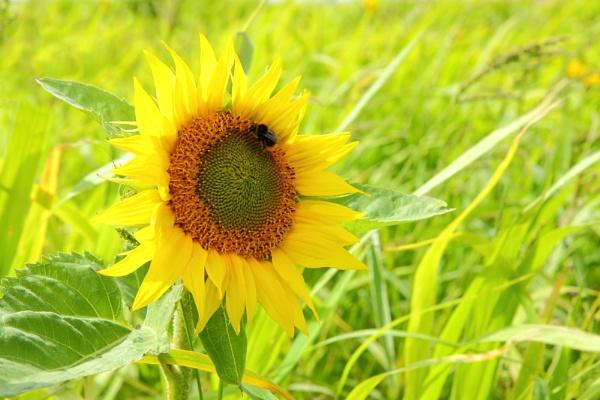 Glowing sunflower by rammy62
