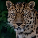 Amur leopard by Mike59