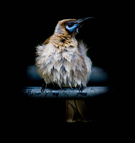 little friar bird by naturephotography