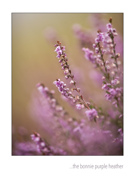 the bonnie purple heather by dwarf