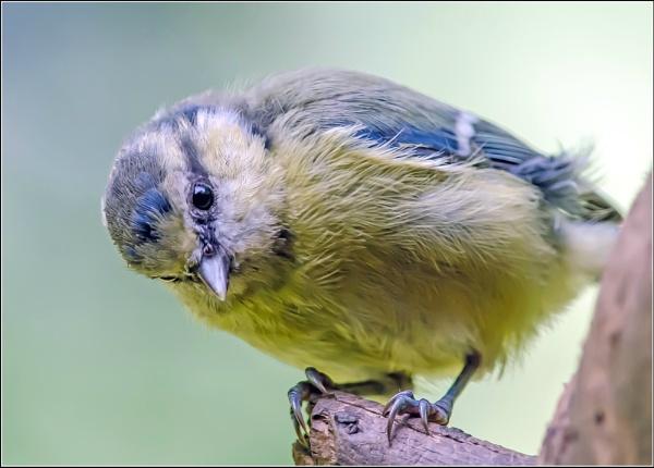 Blue Tit (Cyanistes caeruleus) by delboy85