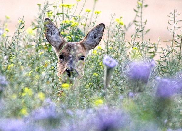 Roe deer in game crop by jayjay52