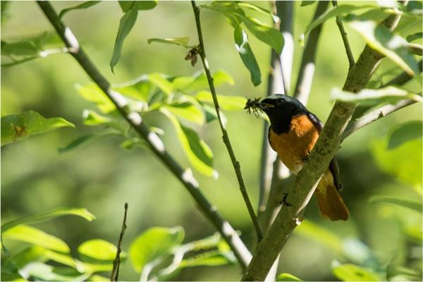 Male Redstart by richmowil