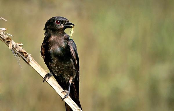 Black Drongo, .... by Shibram