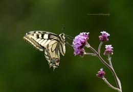 swallowtail & swallowtail