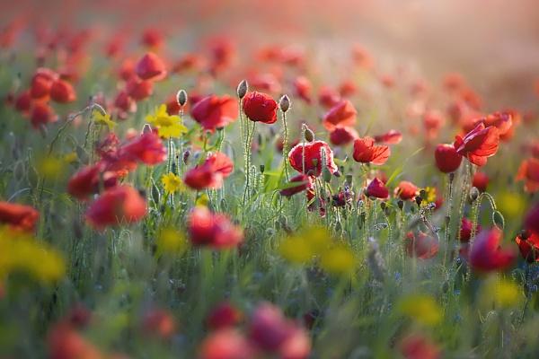 Wildflower Reverie by jackyp
