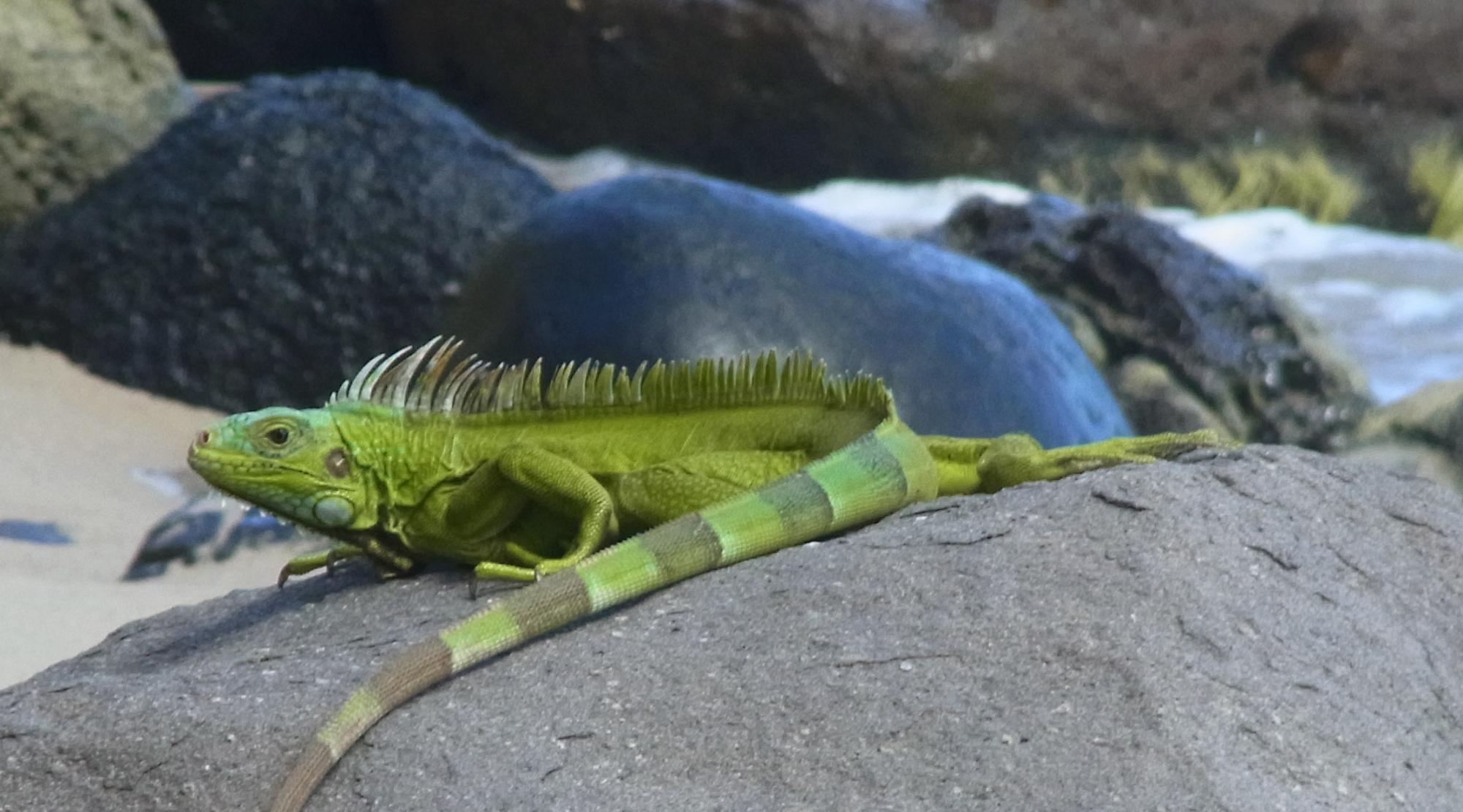 Lizard in Grenada
