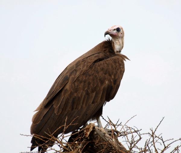 Vulture in the Serengeti by StuartDavie
