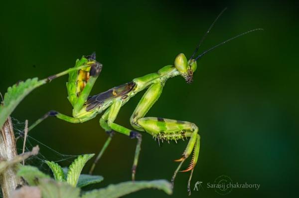 praying mantis by sarasij