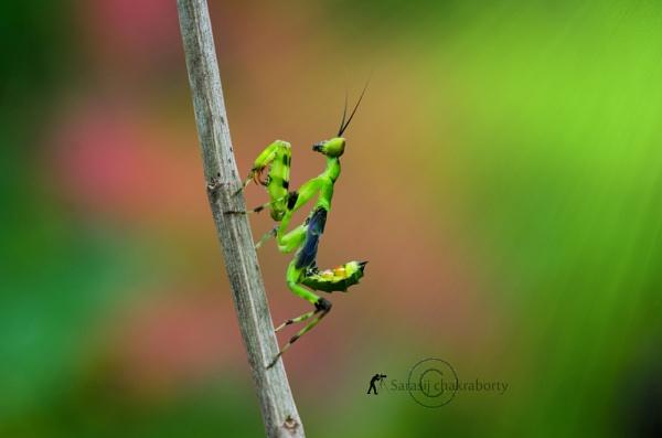 mantis in color by sarasij