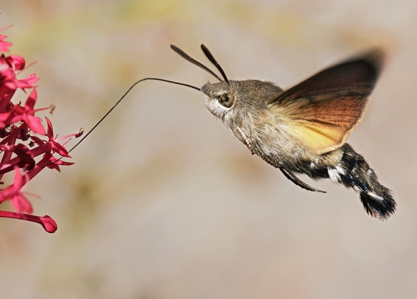 Hummingbird Hawk Moth by fishiee
