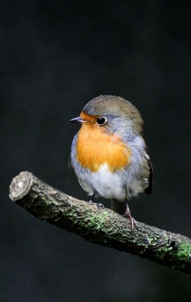 Summer Robin by kenz69