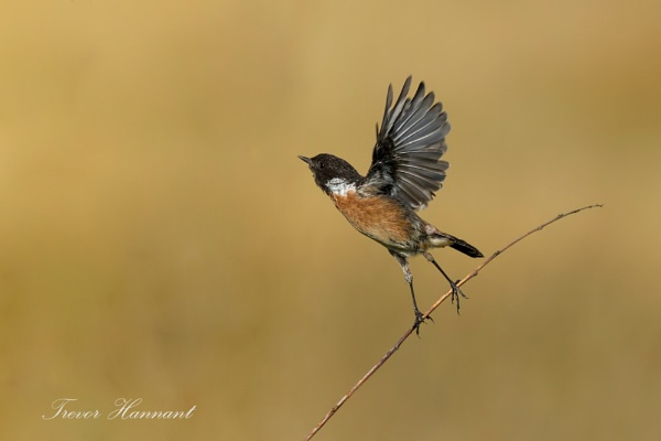 Stonechat Male by trevrob