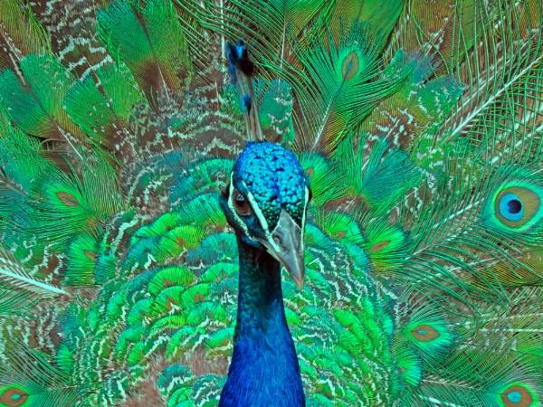 peacock glory by EssexBienen