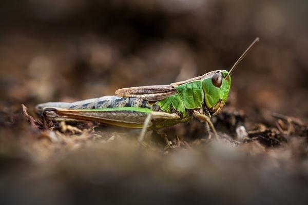 Grasshopper by shootersclough