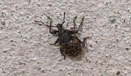 Black Vine Weevil (Otiorhynchus sulcatus)
