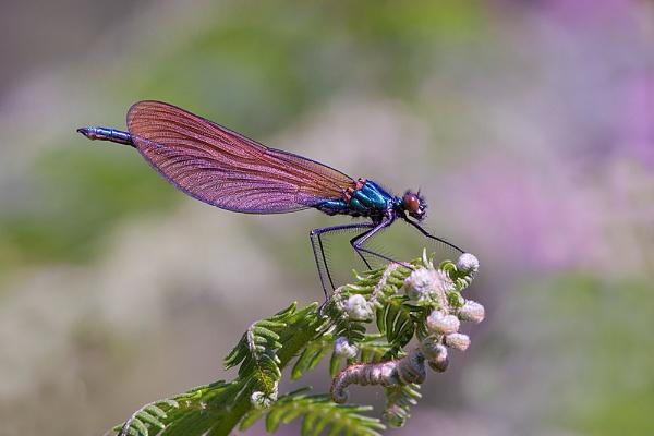Beautiful Demoiselle by PLCimagery