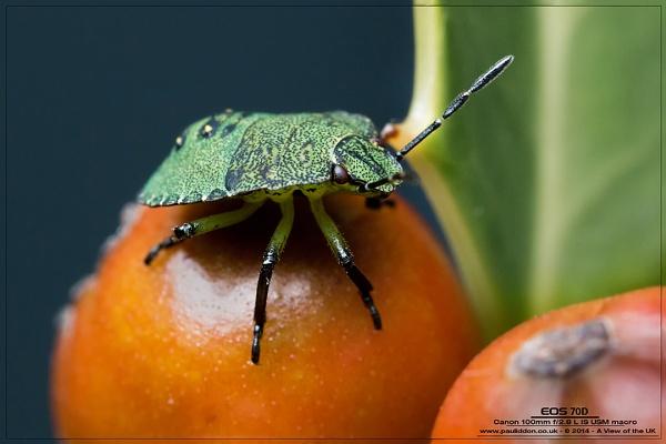 Stink Bug by Paul_Iddon