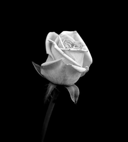 Rose by Granddad