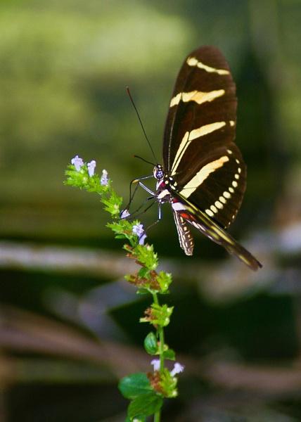 Butterfly by wsteffey